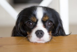 Cavalier-King-Charles-Spaniel-cute-eyes